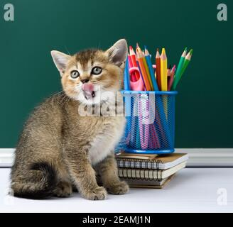 cute kitten scottish golden chinchilla straight sitting on a yellow book on a background of green chalk board and stationery