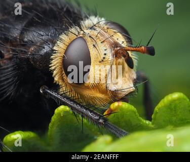 Close up of Tachina grossa tachinid fly perched on fern. Tipperary, Ireland - Stock Photo