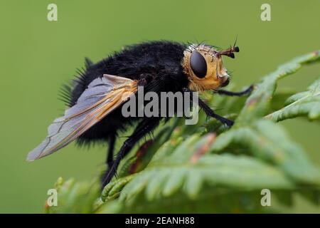 Tachina grossa tachinid fly perched on fern. Tipperary, Ireland - Stock Photo