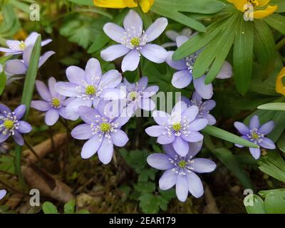 Leberbluemchen  Hepatica  nobilis - Stock Photo