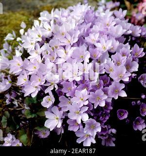 Leberbluemchen, Hepatica nobilis