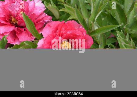 Strauchpfingstrose, Pfingstrose, Paeonia, suffruticosa
