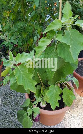 Aubergine, Solanum, melongena - Stock Photo