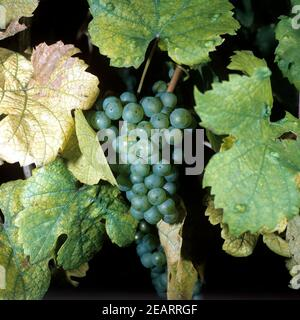 Riesling  Weisse Weintrauben - Stock Photo