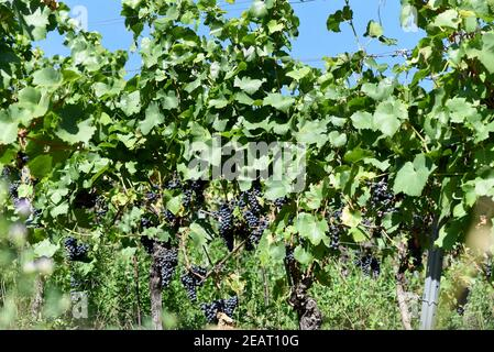 Dornfelder, Rotwein, Weintraube - Stock Photo
