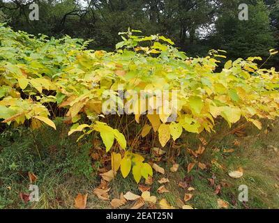 Japanischer, Knoeterich, Fallopia, japonica, Herbst