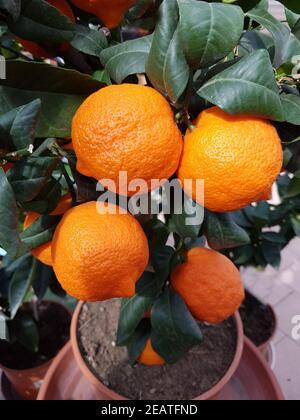 Zitrone  Limone, Rosso, rot, Citrus  limon