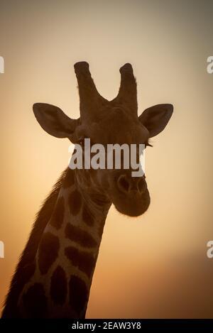 Close-up of southern giraffe head at dusk