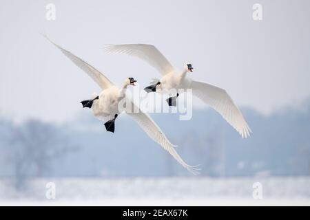 Pair of Trumpeter swans (Cygnus buccinator) landing on St. Croix River, WI, USA, by Dominique Braud/Dembinsky Photo Assoc