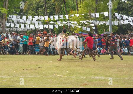 Bull fighting is one of the traditional festivals In Bangladesh. Every year, many people from distant places come with their bulls to participate. A l - Stock Photo
