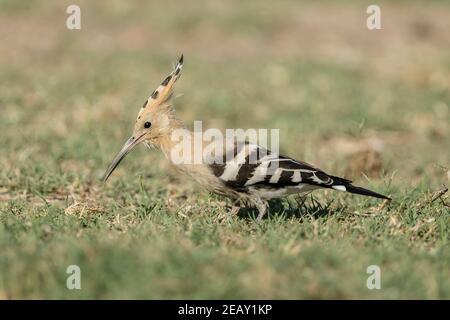 Eurasian hoopoe, Upupa epops, single adult feeding on the ground, Spain