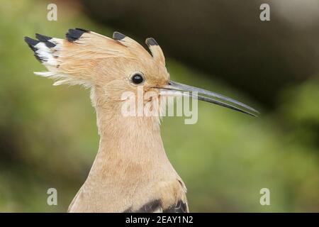 Eurasian hoopoe, Upupa epops, cloese up of head of single adult feeding on the ground, Spain