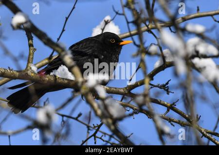 Weingarten, Germany. 11th Feb, 2021. A blackbird sits in the branches of a tree with some snow on it. Credit: Felix Kästle/dpa/Alamy Live News - Stock Photo