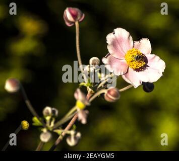 Closeup shot of a Japanese anemone