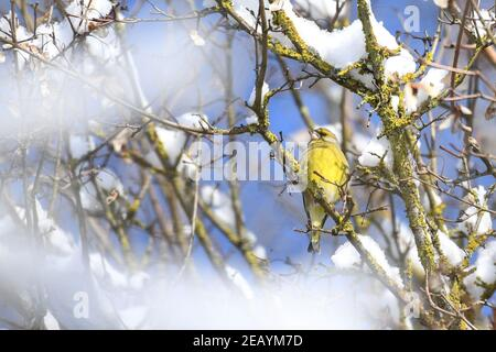 Weingarten, Germany. 11th Feb, 2021. A European Serin sits on a branch in a snowy tree. Credit: Felix Kästle/dpa/Alamy Live News - Stock Photo