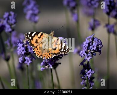 Painted Lady butterfly resting on lavender
