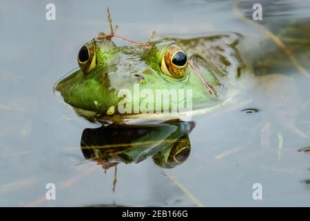 An American Bullfrog (Lithobates catesbeianus) poses for a portrait while in the marsh pond. - Stock Photo