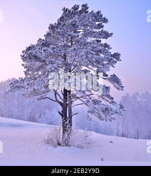 Snow and hoarfrost covered pine tree on top of hill at pink sunrise. Atmospheric winter landscape - fairytale of nature. Ski traces on snowy slope - a - Stock Photo