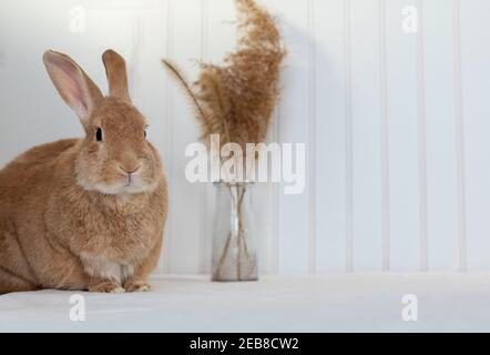 Rufus Rabbit poses on white plush blanket with white wainscot background.  Natural neutral colors and texture copy space.