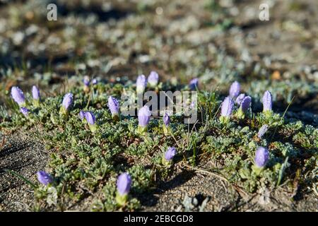 close up with shallow depth of field of a small purple flower blossoms with drops of dew, after being frozen over night in the high altitude of the Ch - Stock Photo