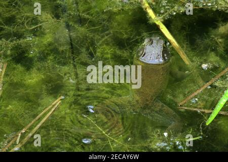 Large frog in the water - Stock Photo