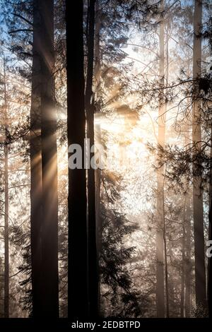 Sun filters through early morning haze in the woods of Los Azufres in Michoacan, Mexico.