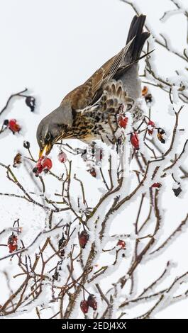 Mallnow, Germany. 14th Feb, 2021. A juniper thrush (Turdus pilaris) picks up a rosehip from a bush. As a so-called 'invasion bird', the animals often come to Germany from Scandinavia and Eastern Europe during very cold winters. Here the birds then still find enough food. Credit: Patrick Pleul/dpa-Zentralbild/ZB/dpa/Alamy Live News