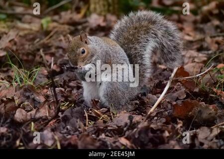 Grey Squirrel Sciurus carolinensis foraging on forest floor - Stock Photo