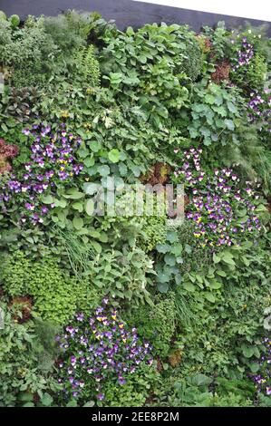 LONDON, UK - 20 MAY 2019: Edible green wall made of flowers and vegetables at The Montessori Centenary Children's Garden at Chelsea Flower Show - Stock Photo