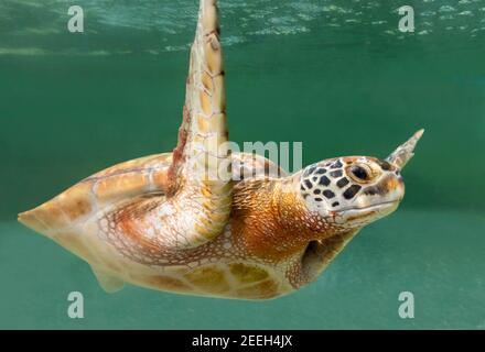 Close-up view of a Green Sea turtle (Chelonia mydas)