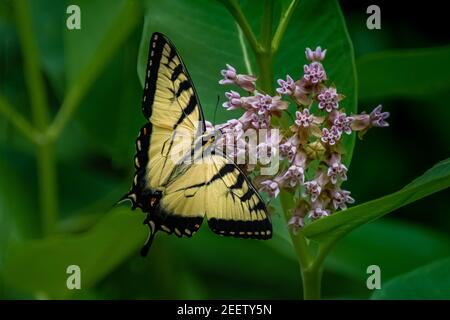 An Eastern Tiger Swallowtail Butterfly (Papilio glaucus) feeding on a milkweed blossom in the summer sun.