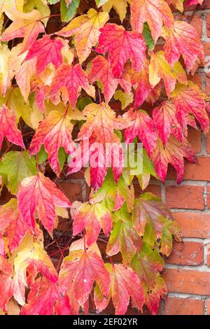 Boston ivy (parthenocissus tricuspidata) in autumn, red climbing ivy creeper growing on a wall, UK