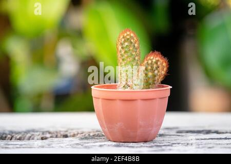 Small plant or cactus in pot on the vintage wooden table top with nature light and green background, selective focus.