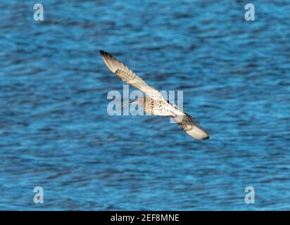 Curlew (Numenius arquata) in flight at the Kinneil Nature Reserve, Bo'ness, West Lothian, Scotland. - Stock Photo