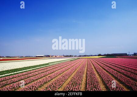 Panoramic view of flowers in a field, Amsterdam, Netherlands