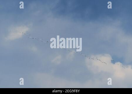 flock of migrating crane birds with blue sky background with clouds forming a row