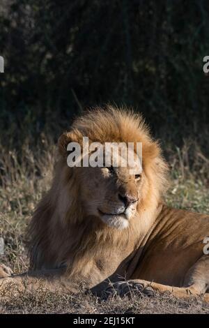 Male lion (Panthera leo), Ndutu, Ngorongoro Conservation Area, Serengeti, Tanzania.