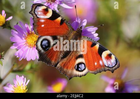 Aglais io or European Peacock Butterfly or Peacock. Butterfly on a flower. A brightly lit red-brown orange butterfly with blue lilac spots on wings.