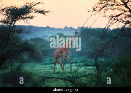Photos and pictures of: Maasai giraffe in front of Mount