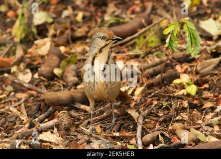 The Collared Palm-Thrush is common along the coastal forests rich in palm scrub and forest and inland in areas where palm trees predominate. They have - Stock Photo