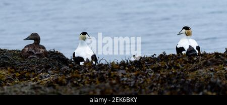 Common Eider Ducks Resting on Seaweed - Stock Photo