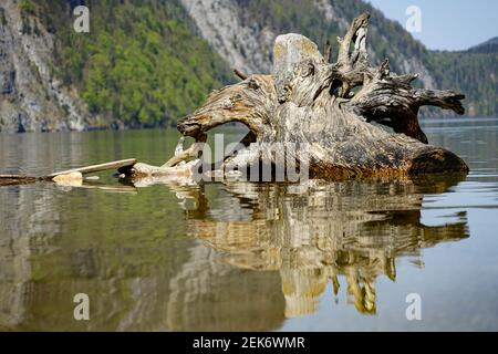 Huge old tree root lying in a shallow lake reflected in the water