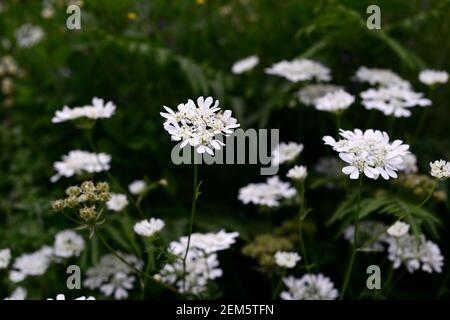 Orlaya grandiflora,white laceflower,multi-branched annual,divided ferny leaves,panicles, panicle white flowers,flowering annuals,RM floral - Stock Photo