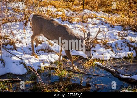 Rocky Mountain Mule Deer buck (Odocoileus hemiorus) crossing small creek, Castle Rock Colorado USA. Photo taken in November.