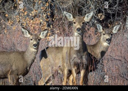 Three female Rocky Mountain Mule Deer does- (Odocoileus hemiorus) up close, studying photographer, Castle Rock Colorado USA. Photo taken in December.