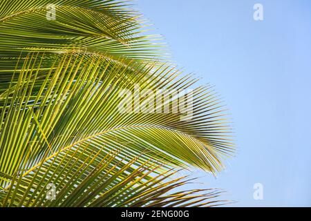 Tropical background with exotic palm leaves. Tropical  leaves with sunshine on blue sky background, copy space. Summer holidays.