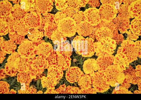 Blooming texture. Beautiful orange red marigold flowers leaves background pattern. Marigold flowers. Floral background. Botany and flora. Tagetes top view. Spring nature. Flowers in field. - Stock Photo