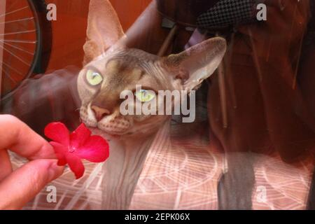 A beautiful green-eyed Canadian Sphynx cat sniffing a red flower in a woman's hand. A cat outside the window. A girl gives the bald cat a flower.