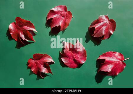 Red decorative wild grape leaves on green. Decorative fox grape autumn fallen leaf. Parthenocissus tricuspidata - Stock Photo