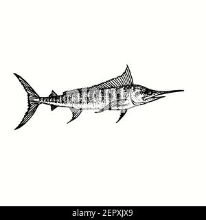 Atlantic blue marlin Makaira nigricans side view. Ink black and white doodle drawing in woodcut outline style.
